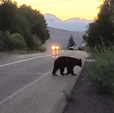 Resident Bear